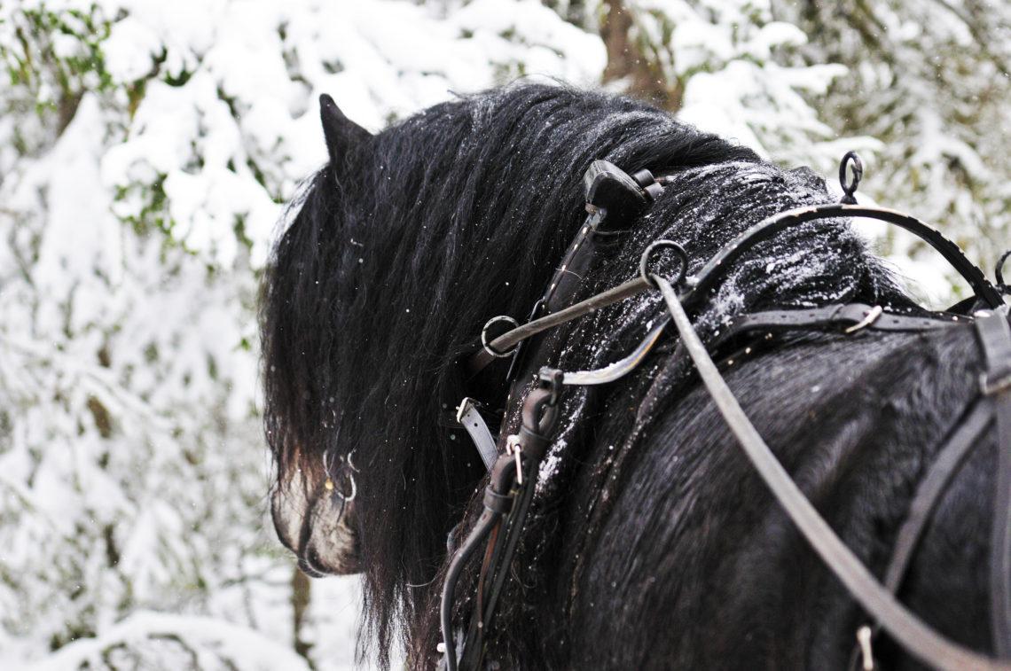 Här syns en nordsvensk brukshäst ur vyn som kusken ser hästen från släden. Tömmar, sele, hals och huvud på en mörkbrun hingst. Tagel är en av hästarna som används i kuskutbildningen i brukshästkörning.