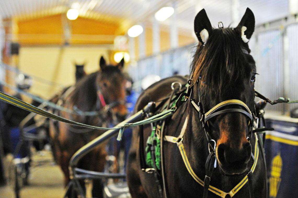 Travhästar selade i stallet på Wången där Fördjupningskurs trav går.
