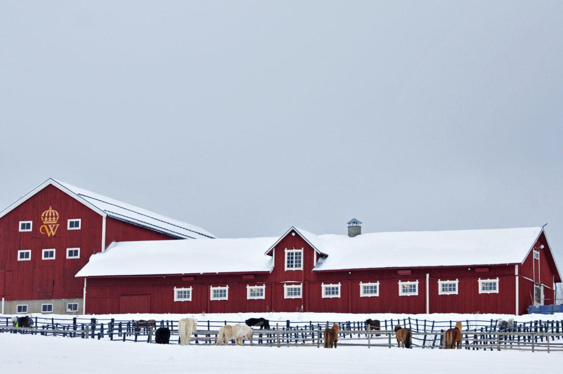 Röd stalllänga på Wången islandhästar i vinterhagar snö på tak och mark