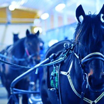 selade travhästar i stallgång. Bilden är blåtonad