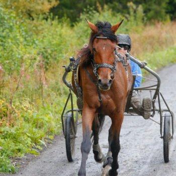 På hästskötarkurs trav kör deltagarna Wångens hästar. Här syns ett varmblod under motionspass i skogen