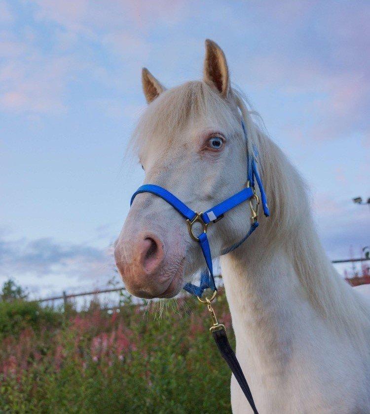 Gräddvit häst med blå grimma