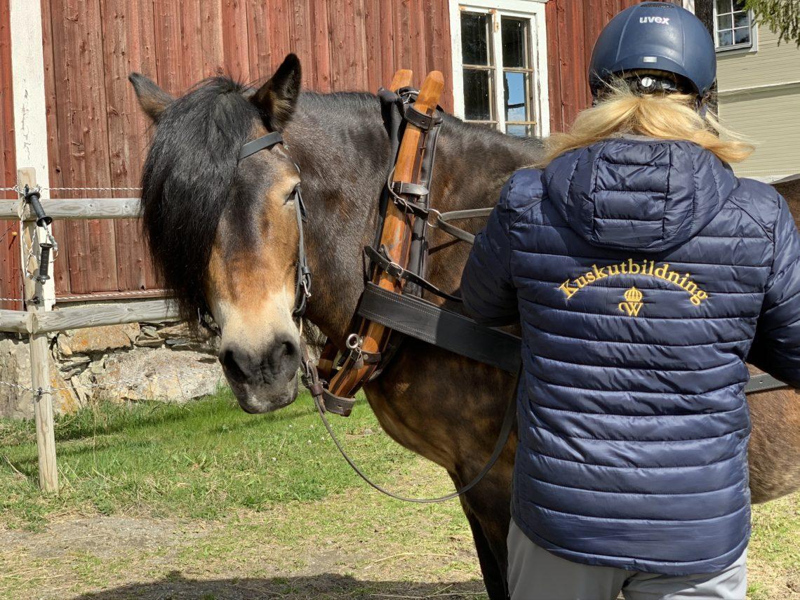 Nordsvensk brukshäst tittar in i kameran medan kvinna tar ned tömmarna. På kvinnans jacka står det kuskutbildning på ryggen
