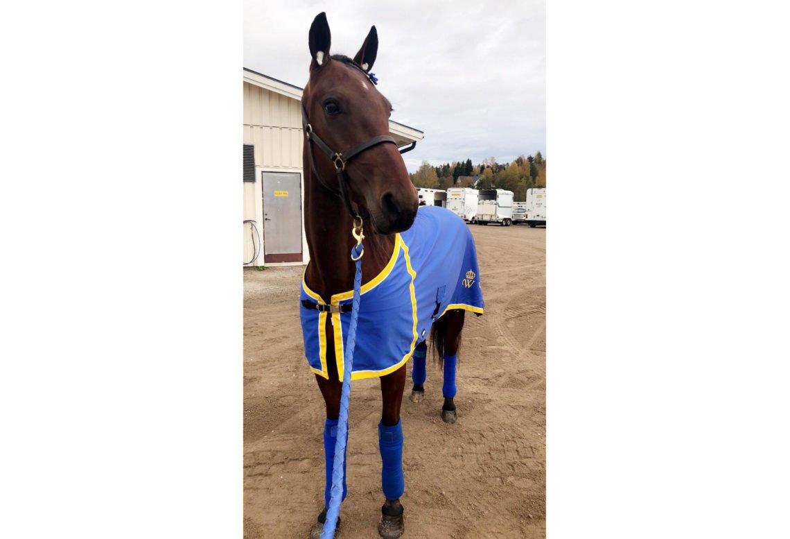 brunt varmblod i blått täcke med Wångens sigill i gult på och gula kanter. Bilden är tagen på stallplan på tävlingsbana