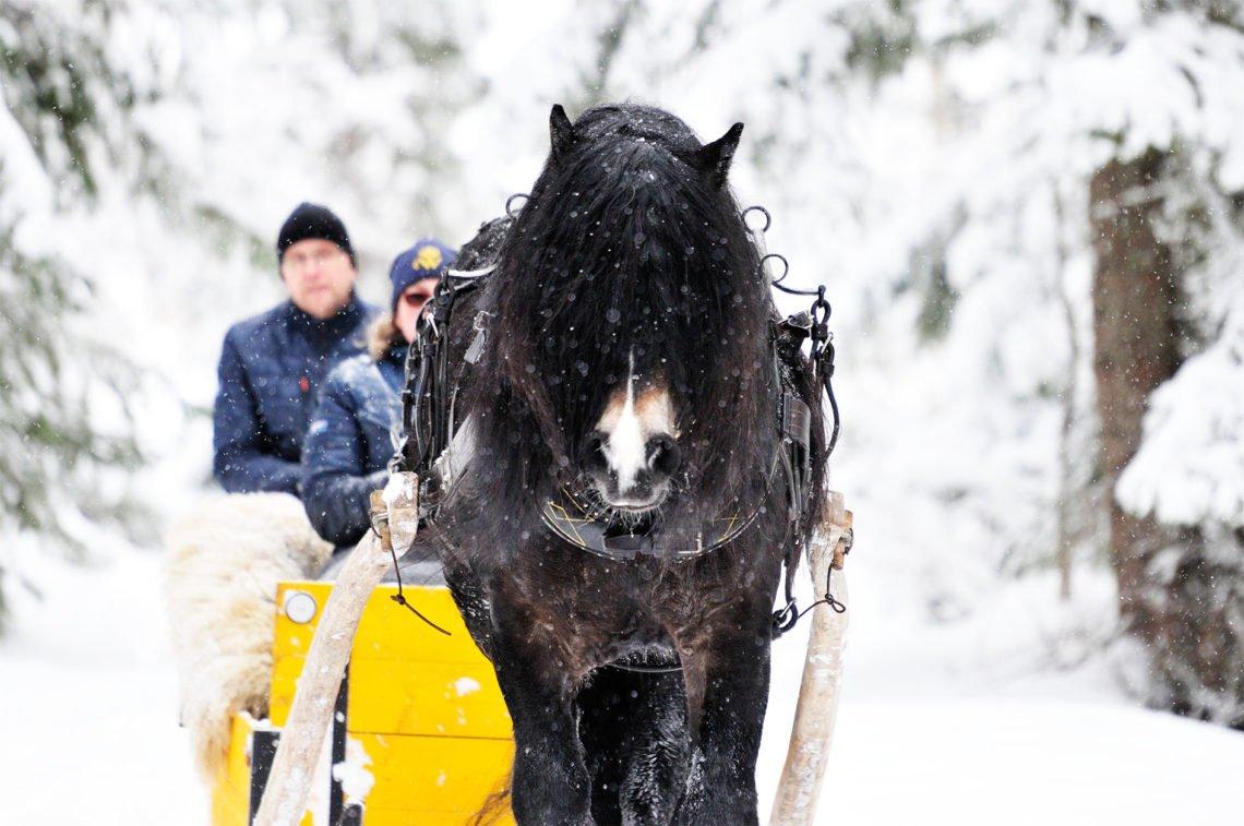 Brukskörning med mörkbrun nordsvensk brukshäst som drar släde genom vinterlandskap
