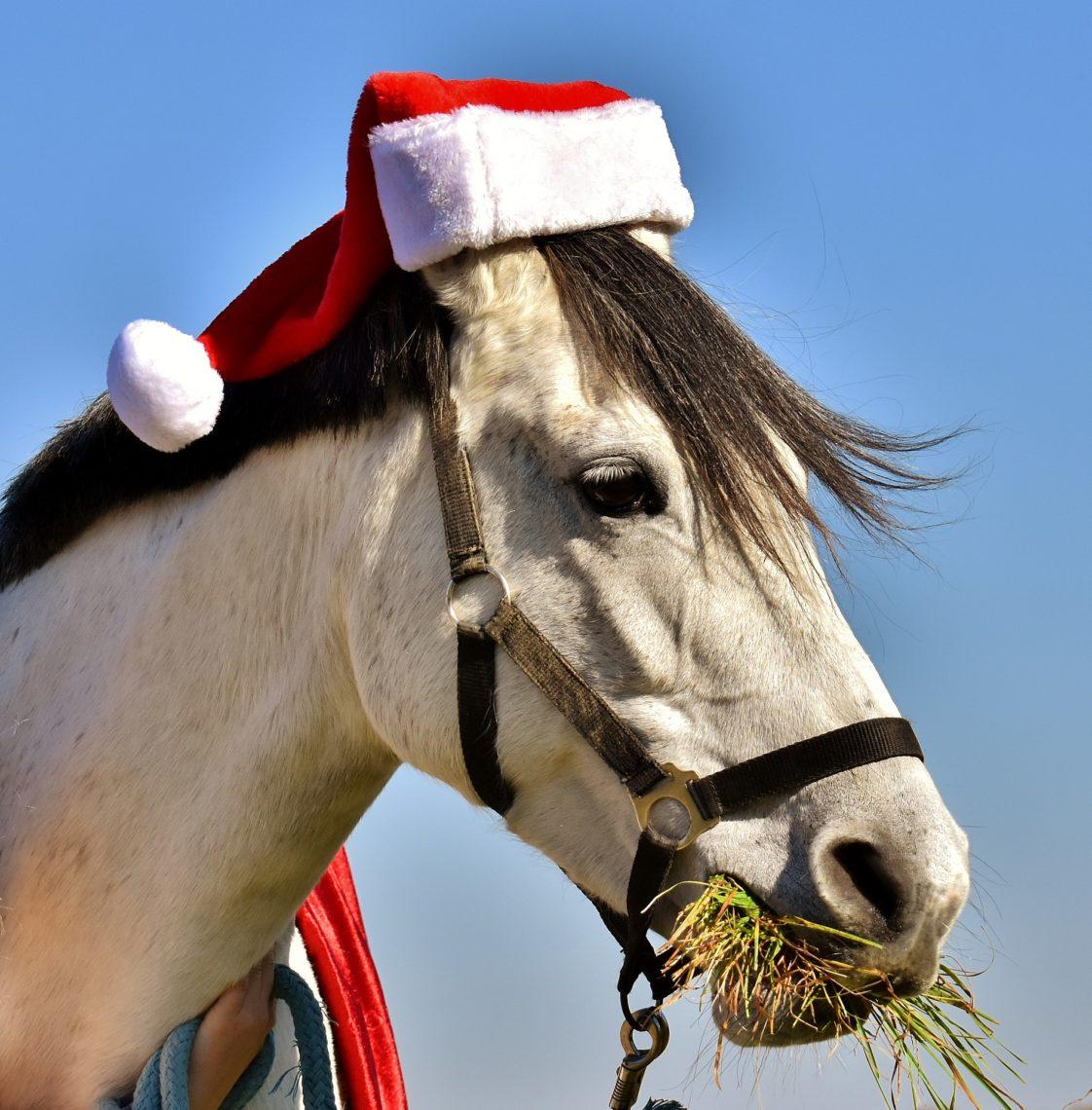 Vit häst med tomteluva över öronen och munnen full med hö.