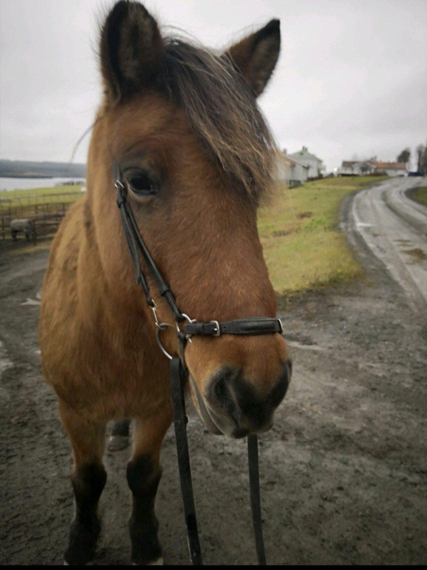 här ser man en brunblack islandshäst i träns framifrån