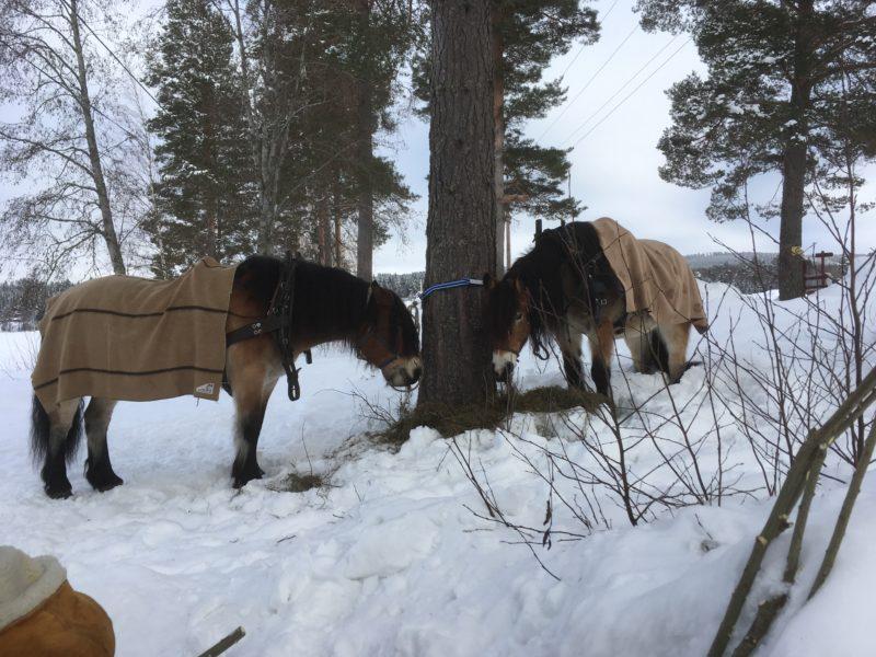 Med varsin ullfillt på ryggen vilar hästarna uppbundna vid en tjock tallstam.