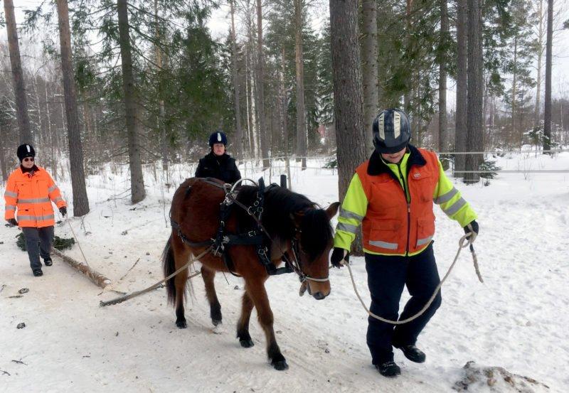 Gotlandsruss leds av en person med varseljacka och hjälm. Två personer går jämte stocken som russet drar.