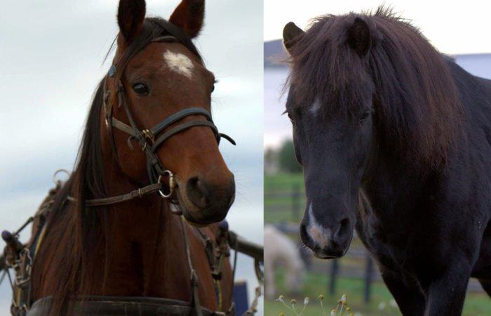 En travhäst och en islandshäst som symboliserar de två profilerna på allmän kurs häst