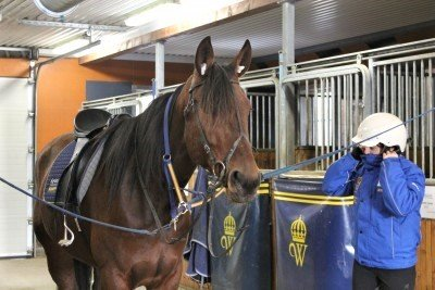 Travhästskötare i stallgång har sadlat en varmblodstravare för att rida monté