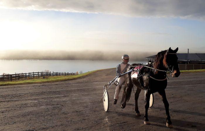 Svart kallblodshingst körs till stallet efter körprovet. I bakgrunden syns dimma över Alsensjön.