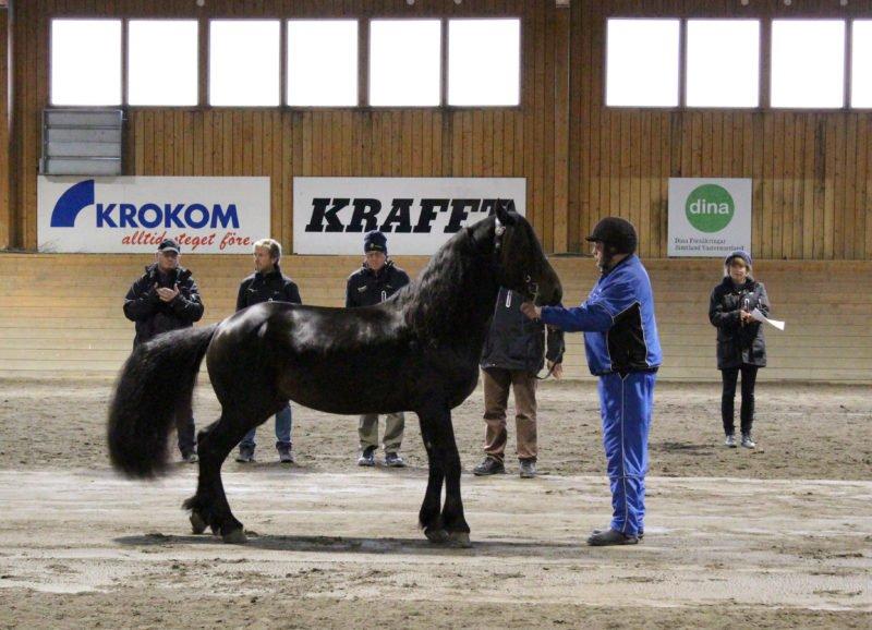 Svart häst hålls av sin visare framför nämdens delegater i ridhuset.