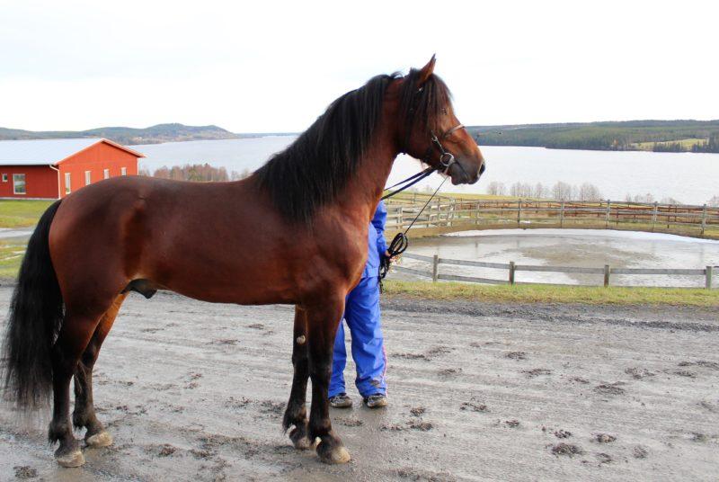 Brun häst med svart man uppställd på Wångens stallplan, i bakgrunden en rundkorall och Alsensjön.
