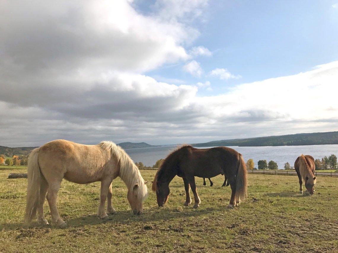 Islandshästar betar i hage på Wången med utsikt över Alsensjön