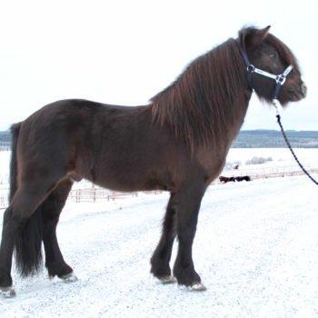 Svart islandshäst på vinterväg