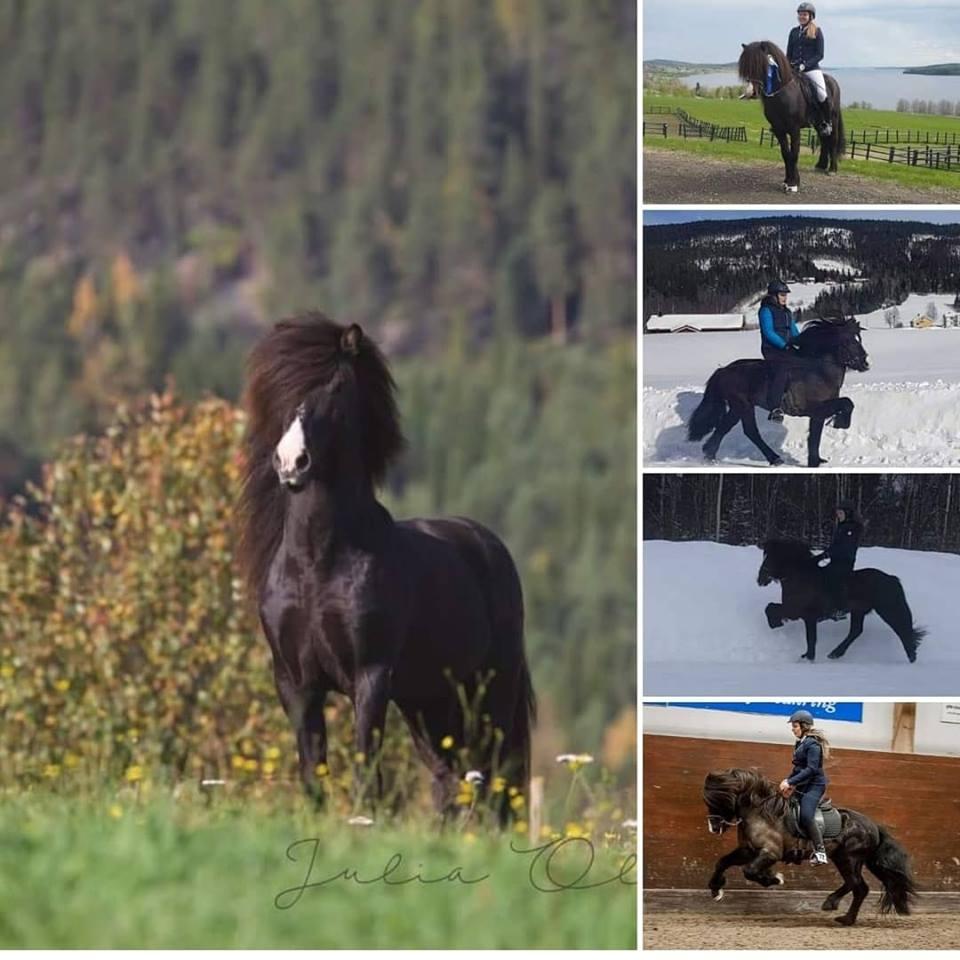 Collage med flera bilder på svart islandshäst i hage och med ryttare