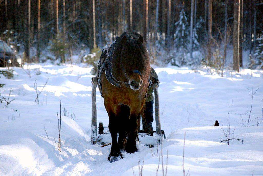 Brun nordsvensk med svart man syns framifrån dra stötting genom snön. I skogen i utbildningsort Rättvik.