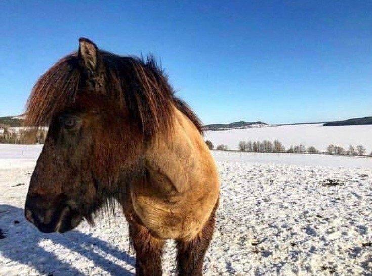Islandshäst med rakad hals står i vintrig hage.