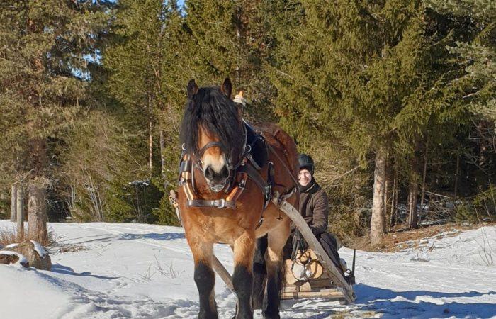 Nordsvensk brukshäst drar hem timmer från skogen
