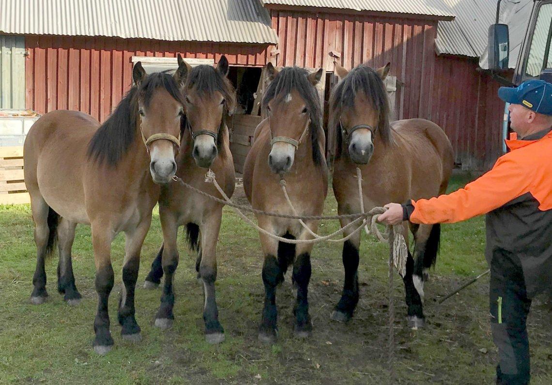 Fyra nordsvenska unghingstar i bredd framför en lada. Sigvard håller alla fyra grimskaften i en hand. Han har en varseljacka på sig och man skymtar en traktor bakom