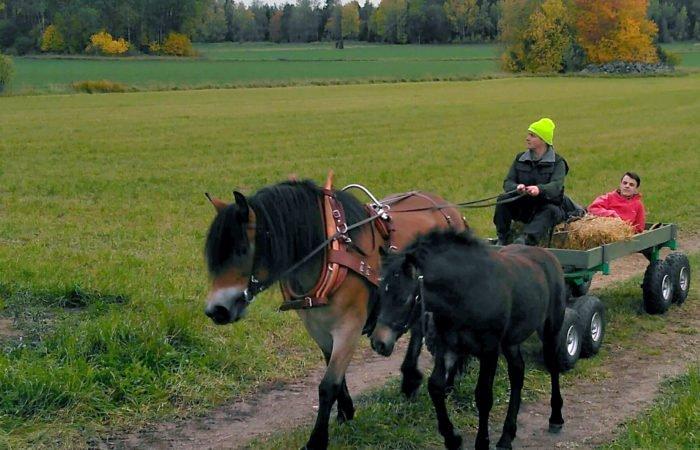 Nordsvensk brun häst drar vagn på en grusväg genom ett jordbrukslandskap. På kuskbocken sitter en kvinna och i vagnen ligger en man. Bredvid hästen går ett svart föl.