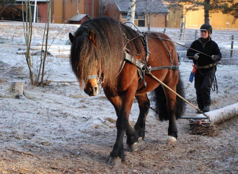 Kvinna går bakom och kör häst på snöpudrad mark