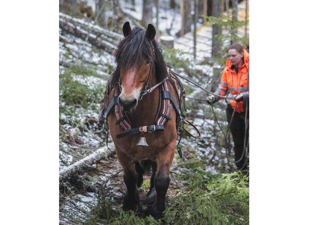 brun ardenner i skog med kusk som går bakom. marken är lätt pudrad med snö