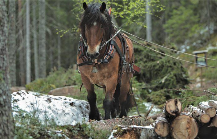 Snickars brukshästar tar även skogsuppdrag. Här syns brun häst med svart man stå brevid ett timmerlass i skogen.