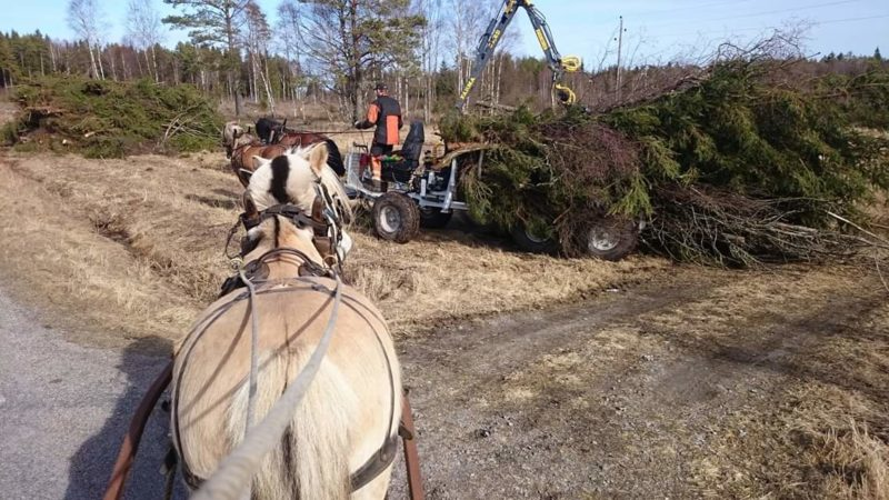 F´örspänd fjordhäst syns bakifrån. Framför hästen syns ett par ardennerhästar som drar skogsvagn med griplastare i full färd med att lasta träd med grenar