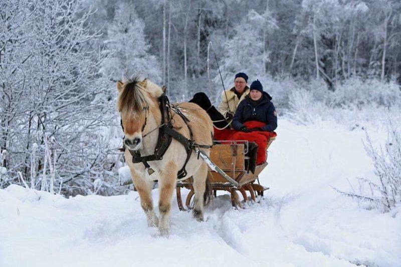 Fjordhäst drar släde i vinterlandskap
