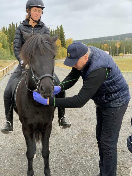 Svart islandshäst på ovalbana med ryttare står still medan veterinär med blå plasthandskar på tar blodprov från hästens hals.