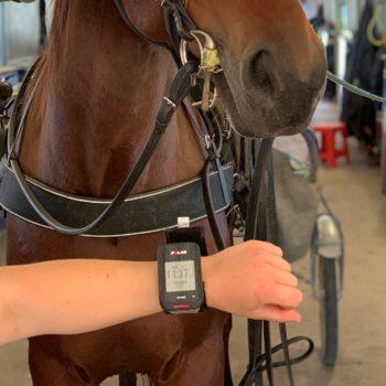 Selad travhäst i stallet. I förgrunden syns en arm med pulsklocka.