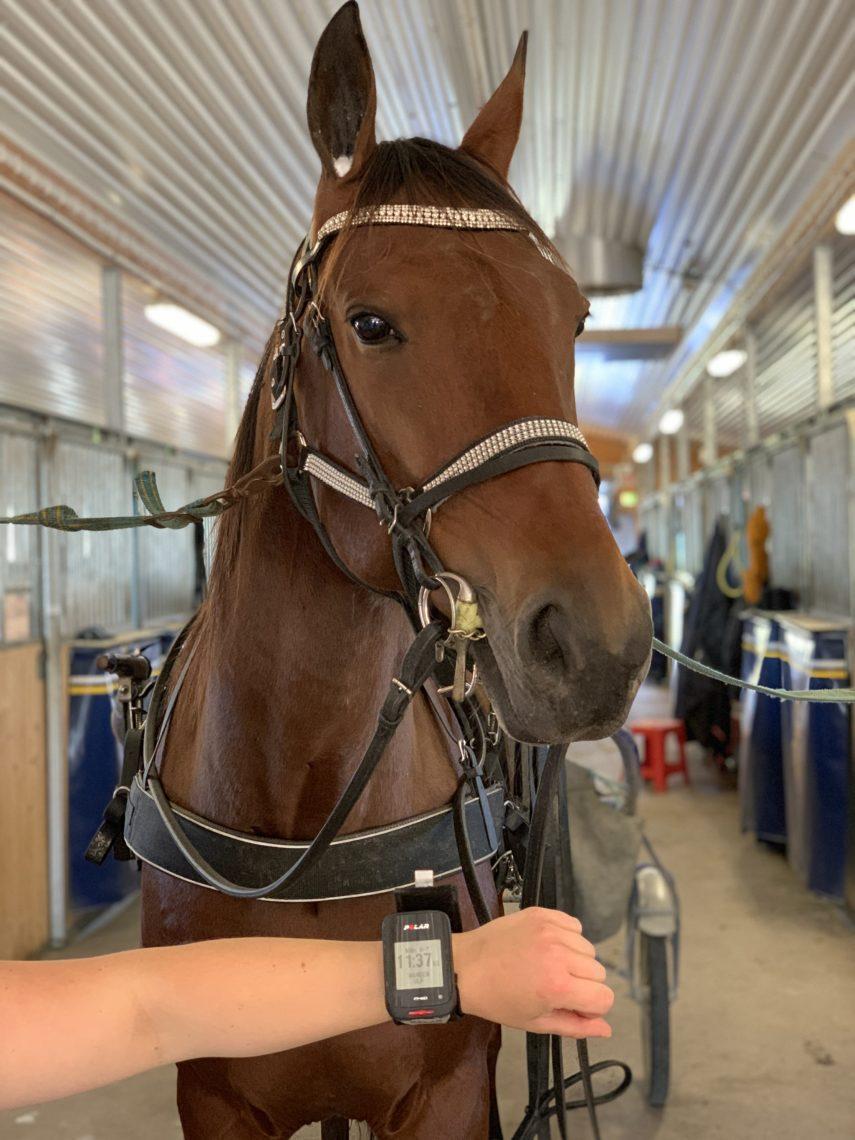 Selad häst i stallgång. I förgrunden syns en arm med pulsklocka på. Ett av verktygen som ingår att hantera i kursen träningsfysiologi.