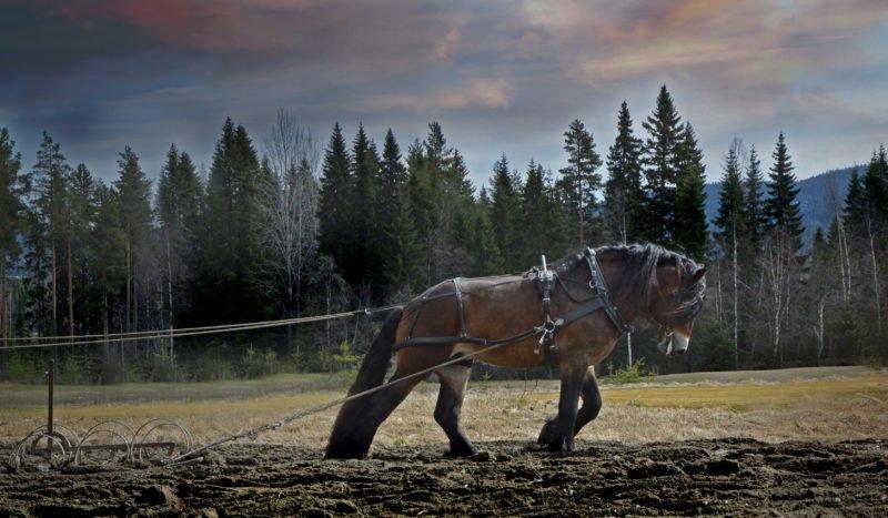 Häst drar harv. I bakgrunden syns granskog och en dramatisk himmel