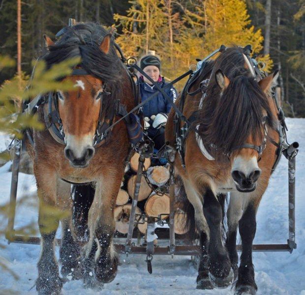 Två hästar drar timmerlass. Kvinna som kör syns mellan hästarna