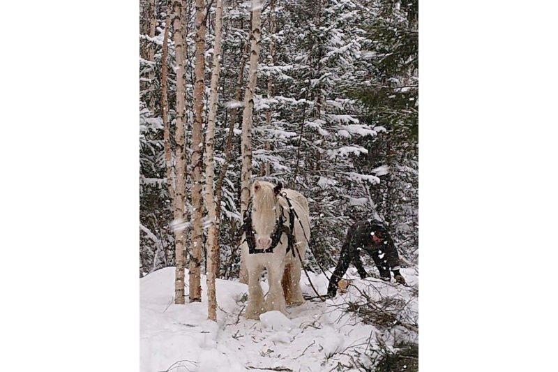 Vit häst i snövit skog