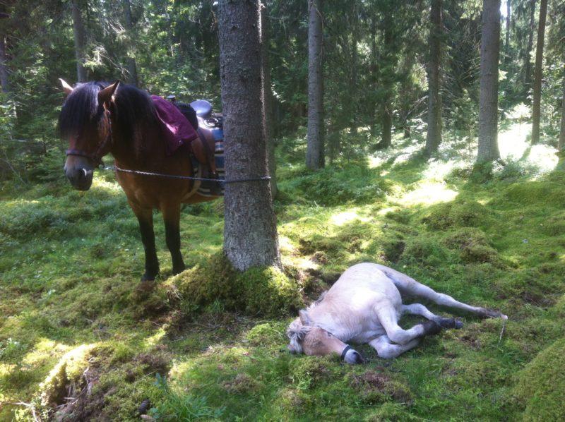 Nordsvensk brukshäst med westernsadel står bunden vid ett träd i skogen. På marken i mossan ligger ett ljust föl och vilar. Solen skiner mellan träden.