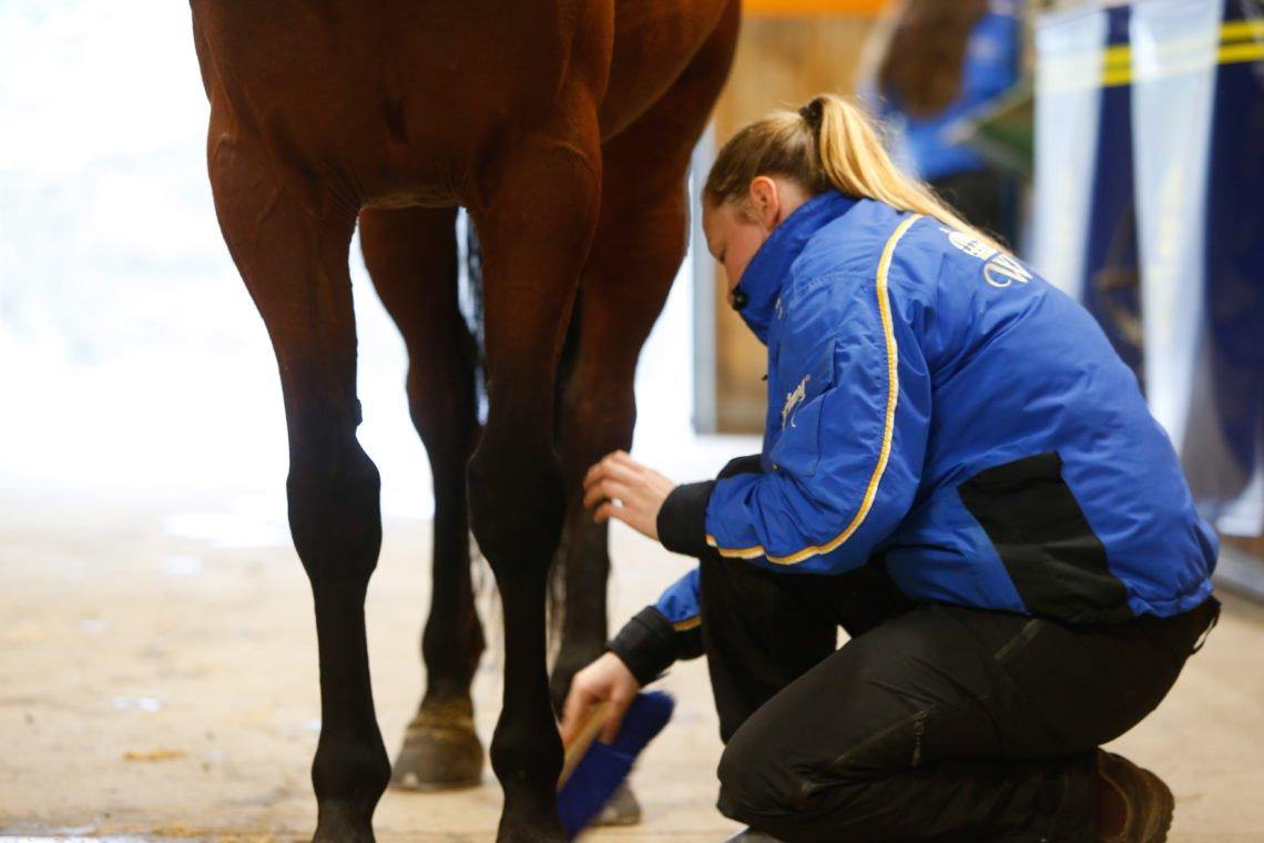 Häst på stallgång med hästskötare på knä som borstar benen