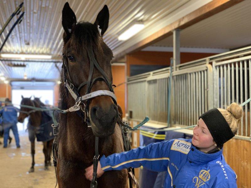 Varmblod på stallgång med hästskötare