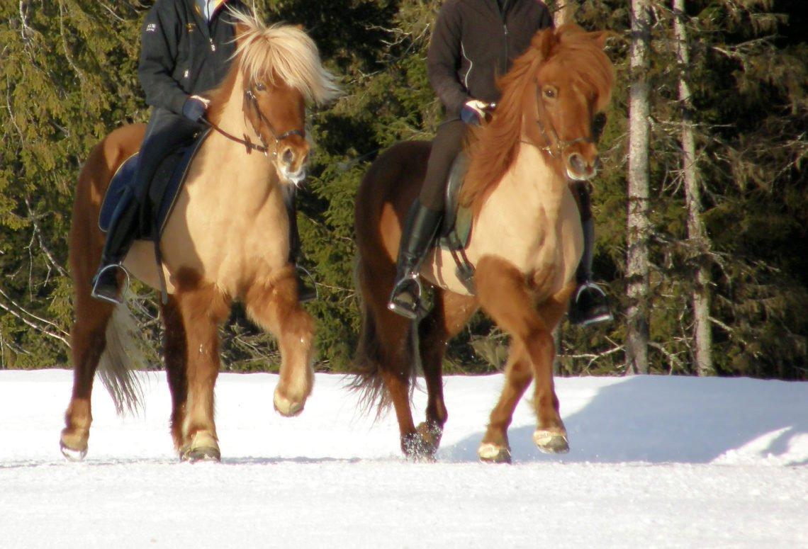 Hästskötarkurs islandshäst ingår ridlektioner i ridhus och ute på ovalbanan Här syns två islandshästar med ryttare utomhus på snöunderlag