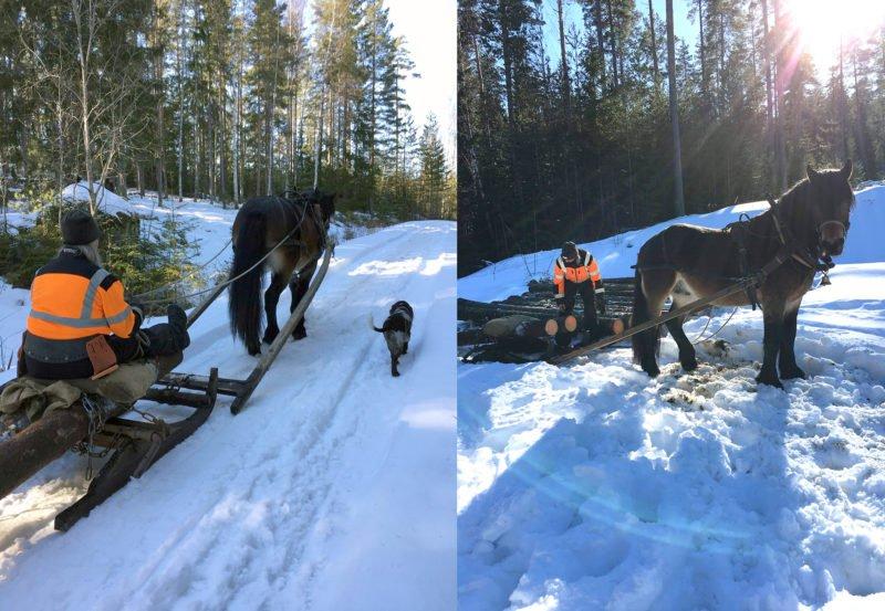 häst med kusk jobbar i snötäckt skog