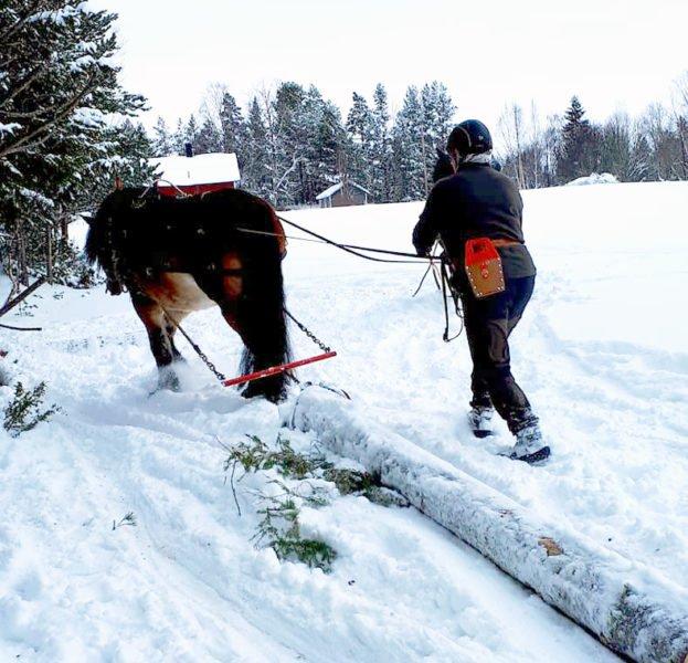 Häst drar timmerstock genom snö. Bakom hästen går kusken med timmersax i bältet.