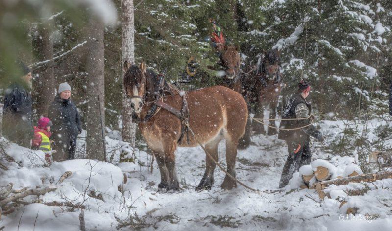 Publik tittar på när Cecila med en ardenner drar timmer i vintrig skog. I bakgrunden skymtar man ett par hästar som drar griplastarvagn