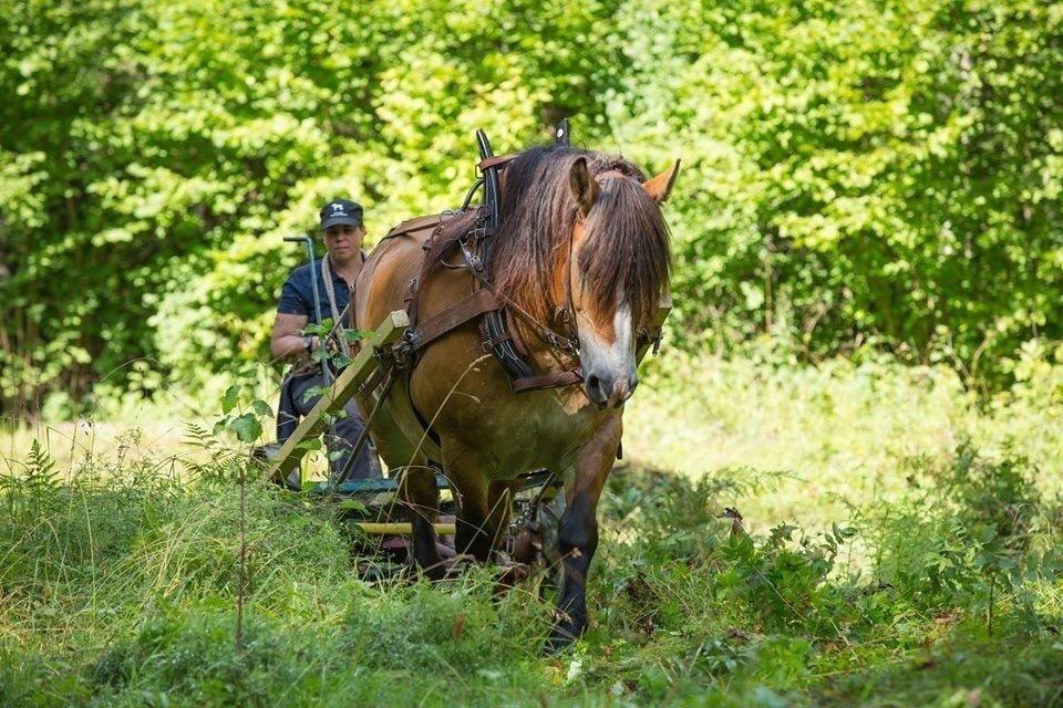 Ardenner trampar genom sommargrönska