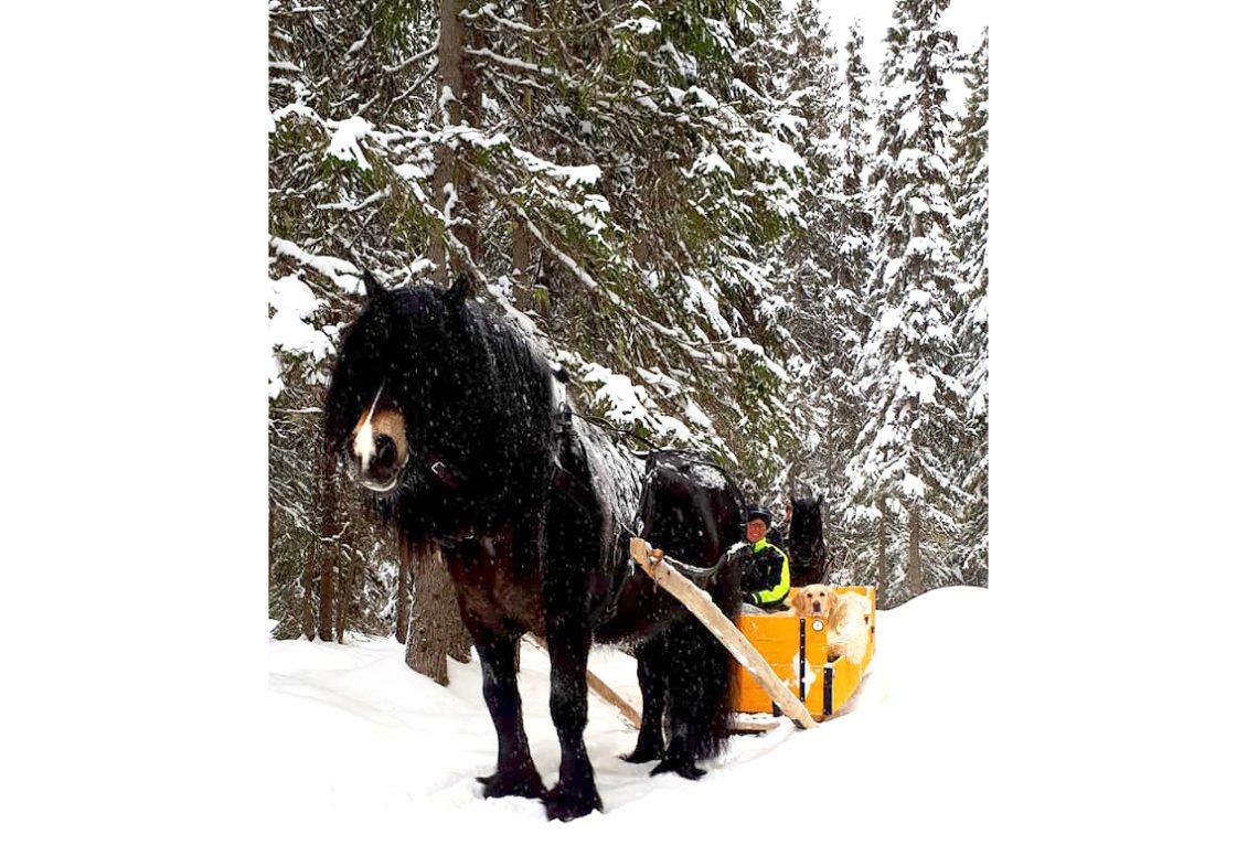 Nordsvensk brukshäst med lång man drar släde genom vinterlandskap. Snön ligger på granarna