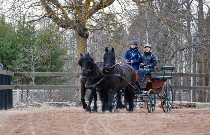 Två svarta kallblodstravarae drar klassisk gammelvagn