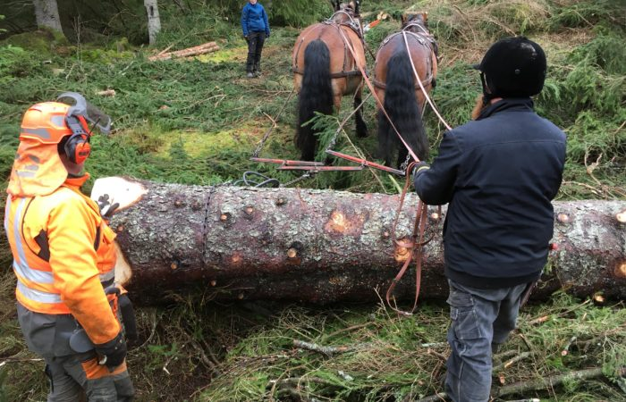 Två nordsvenska brukshästar drar en stor timmerstock kusk går bakom och bredvid står lärare Sigvard Gustavsson i full skogmundering. Varselkläder och hjälm med visir och hörselkåpor. Kusken har ridhjälm.