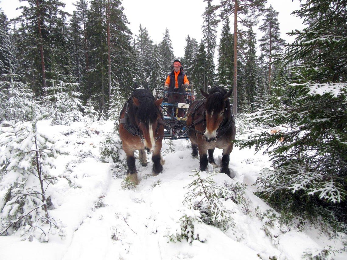 En ardenner och en nordsvensk brukshäst i par drar griplastarvagn genom snöbetäckt skogslandskap. Styrbjörn Kindströmer styr iklädd orange skogsmundering