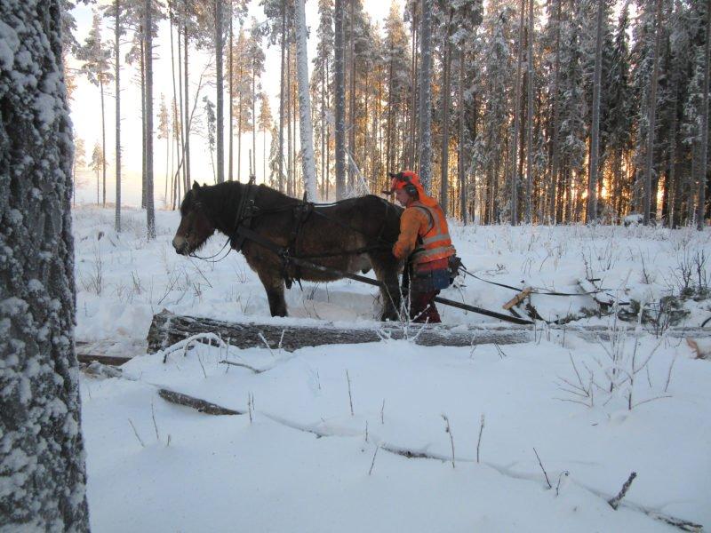 Från sidan ser man en man i varseljacka och hjälm med visir kontrollera selen på en nordsvensk brukshäst. De står på ett snötäckt hygge. I bakgrunden syns en rad tallar och solen lyser igenom stammarna